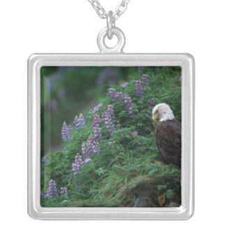Weißkopfseeadler Alaskas, Unalaska Insel unter Versilberte Kette