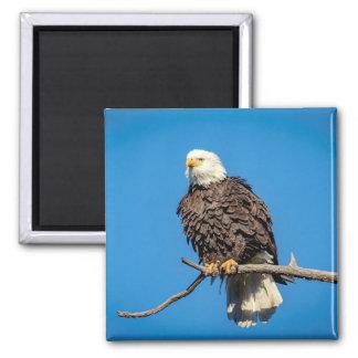 Weißkopfseeadler auf einem Baumast Quadratischer Magnet