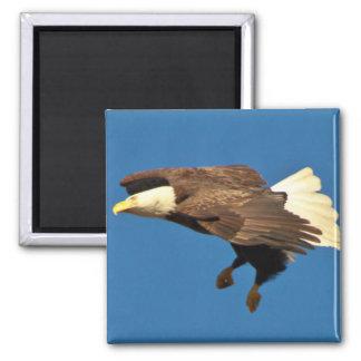 Weißkopfseeadler bereitet sich für die Landung vor Quadratischer Magnet