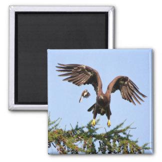 Weißkopfseeadler gejagt durch eine Spottdrossel Quadratischer Magnet