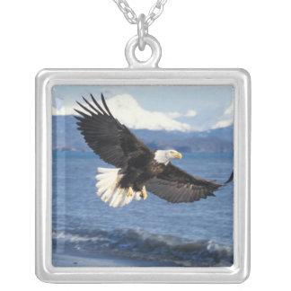 Weißkopfseeadler, Haliaeetus leuccocephalus, im Versilberte Kette