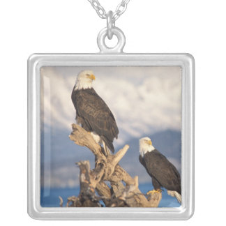 Weißkopfseeadler, Haliaeetus leuccocephalus, Paar Versilberte Kette