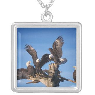 Weißkopfseeadler, Haliaeetus leuccocephalus, Versilberte Kette