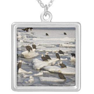 Weißkopfseeadler, Haliaeetus leucocephalus, Homer, Versilberte Kette