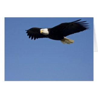 Weißkopfseeadler im Flug, Haliaeetus Karte