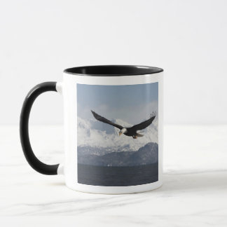 Weißkopfseeadler im Flug, Haliaeetus Tasse