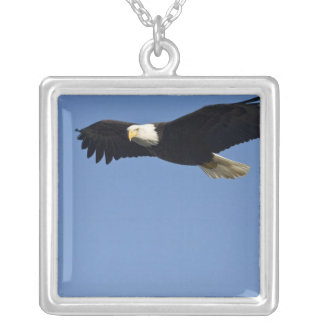 Weißkopfseeadler im Flug, Haliaeetus Versilberte Kette