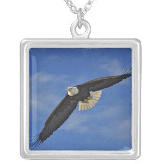 Weißkopfseeadler im Flug, Haliaetus leucocephalus, Versilberte Kette