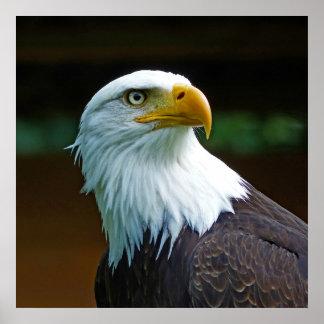 Weißkopfseeadler-Kopf Poster