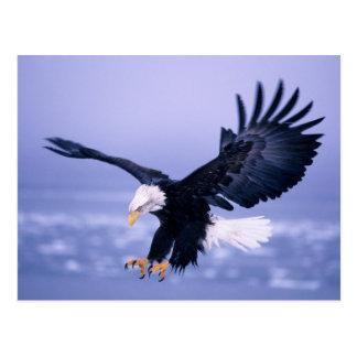 Weißkopfseeadler-Landungs-Flügel verbreitet in ein Postkarten