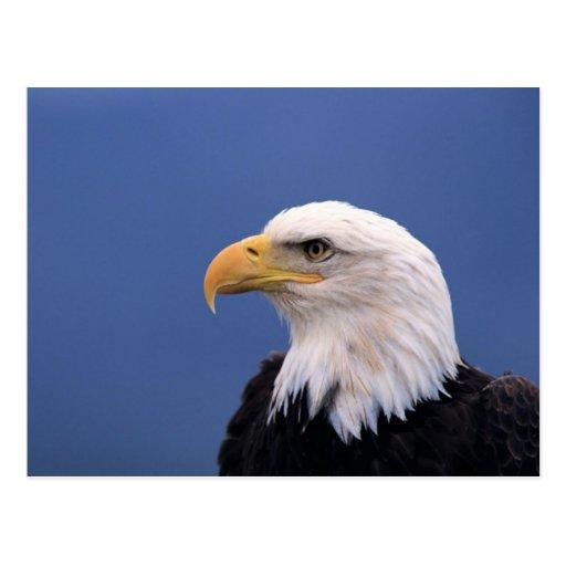 Weißkopfseeadler Postkarte