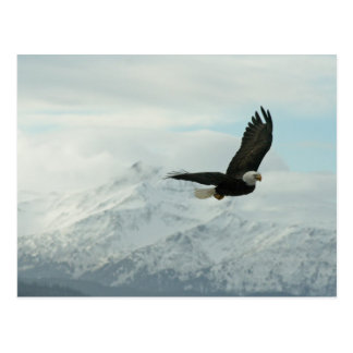 Weißkopfseeadler u. Berge Postkarte