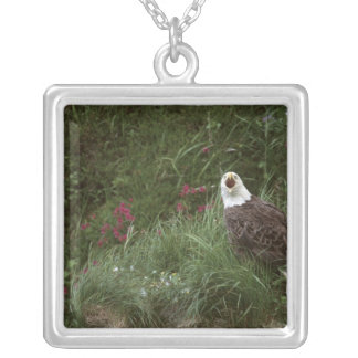Weißkopfseeadler USA, Alaska, Unalaska Insel Versilberte Kette