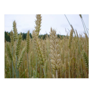 Weizen-Pflanzen-Samen Postkarte