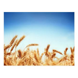 Weizenfeld gegen blauen Himmel Postkarte