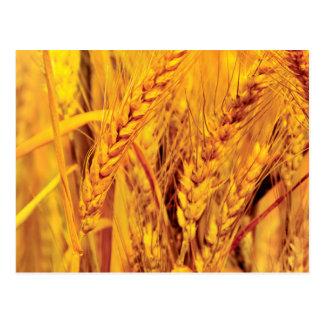 Weizenfelder Postkarte