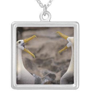 Wellenartig bewegte Albatros Phoebastria irrorata) Versilberte Kette