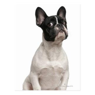 Welpe der französischen Bulldogge (5 Monate alte) Postkarte