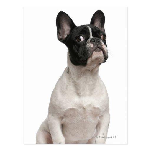 Welpe der französischen Bulldogge (5 Monate alte) Postkarten