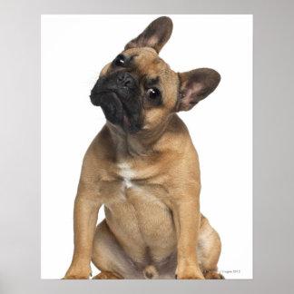 Welpe der französischen Bulldogge (7 Monate alte) Posterdruck