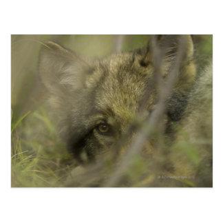 Welpe des grauen Wolfs (Canis Lupus) allein, Postkarte