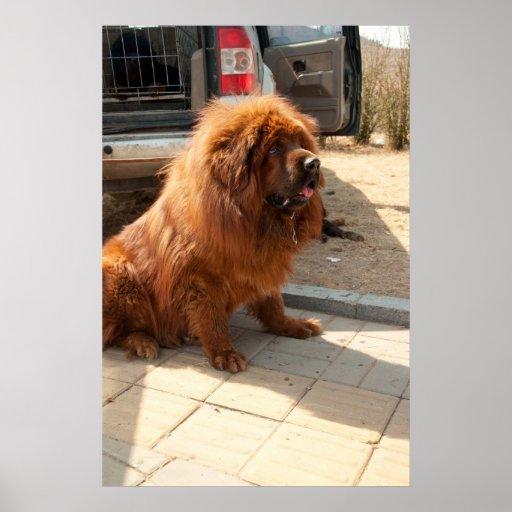 Welpe des tibetanischen Mastiff Plakatdruck