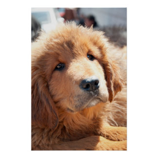 Welpe des tibetanischen Mastiff Posterdrucke