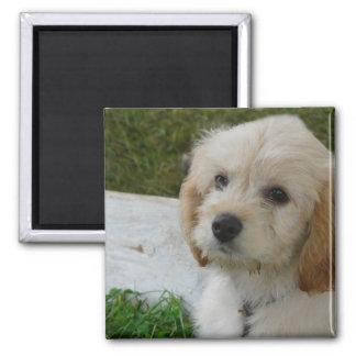 Welpen-Liebe - niedliches MaltiPoo HundeFoto Quadratischer Magnet
