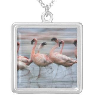 Wenige Flamingos in der Bewegung, Phoenicopterus Versilberte Kette