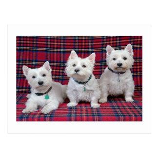 Westhochland Terrier Postkarte
