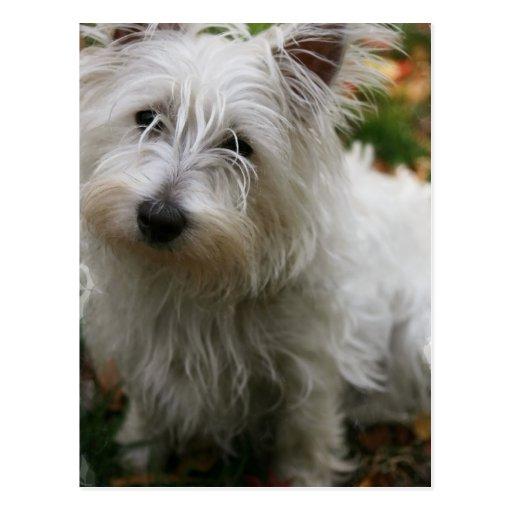 Westhochland-Terrier-Postkarte