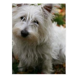 Westhochland-Terrier-Postkarte Postkarte