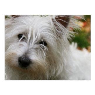 Westhochland-Terrier-Postkarte Postkarten