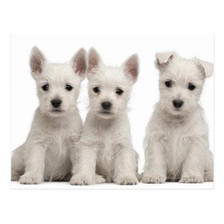 Westhochland-Terrier-Welpen (7 Wochen alt) Postkarte