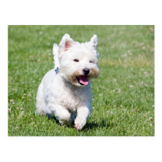 Westhochland-weißer Terrier, westie Postkarte