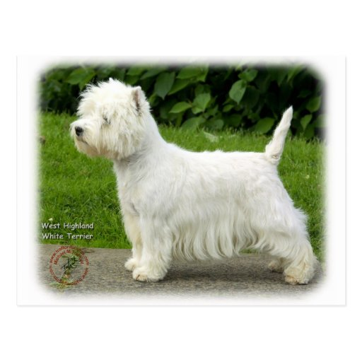 Westhochland weißes Terrier 9A012D-21 Postkarte