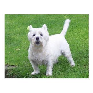 Westie Postkarte - Westhochland weißes Terrier
