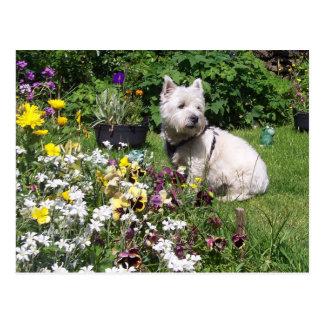 Westie, Westhochland weißes Terrier Postkarte
