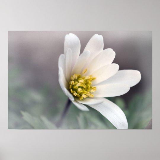 White Anemone Poster