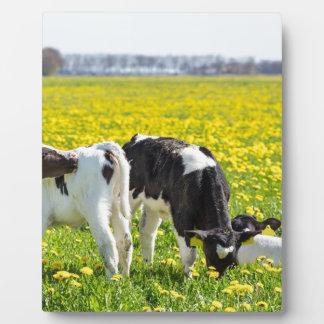 Wiese mit drei neugeborene calfs im Frühjahr Fotoplatte