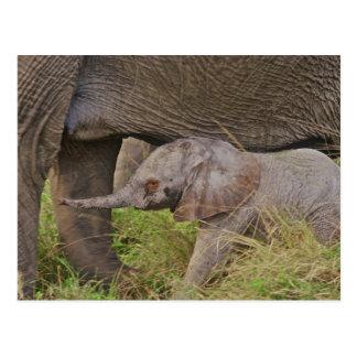 Wild lebende Tiere Afrikas, Kenia, Babyelefant Postkarte