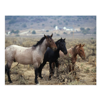 Wilde Mustang-Pferde 5 Postkarte