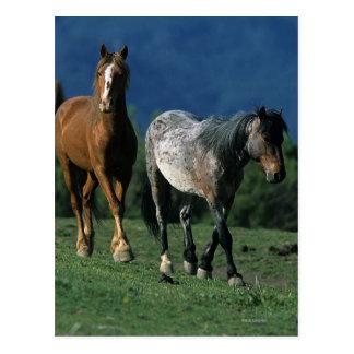 Wilde Mustang-Pferde Postkarte