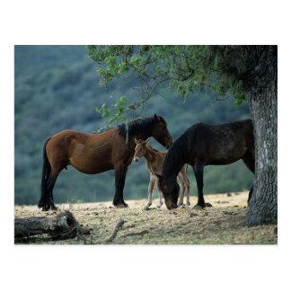 Wilde Mustang-Stute u. Fohlen Postkarten