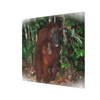 Wilde Orang-Utan Mutter und Baby Leinwanddruck