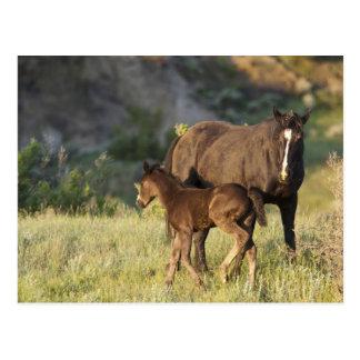Wilde Pferde an Nationalpark Theodore Roosevelts Postkarte