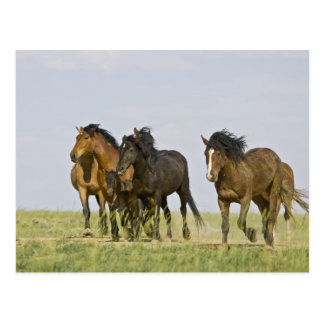 Wilde PferdeEquus caballus) wilde Pferde 3 Postkarte