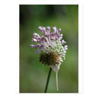 Wilde Zwiebel-Wildblume-Weinbergslauch - Lauch Postkarte
