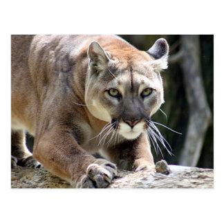 Wilder Puma Postkarte