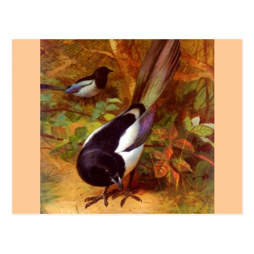 Wilder Vogel der Elsters Postkarten
